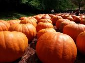 Rows and rows of pumpkins