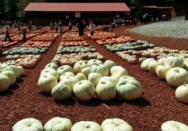 White pumpkins!!!